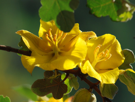 GOING WILD WITH NATIVES: Fremontodendron