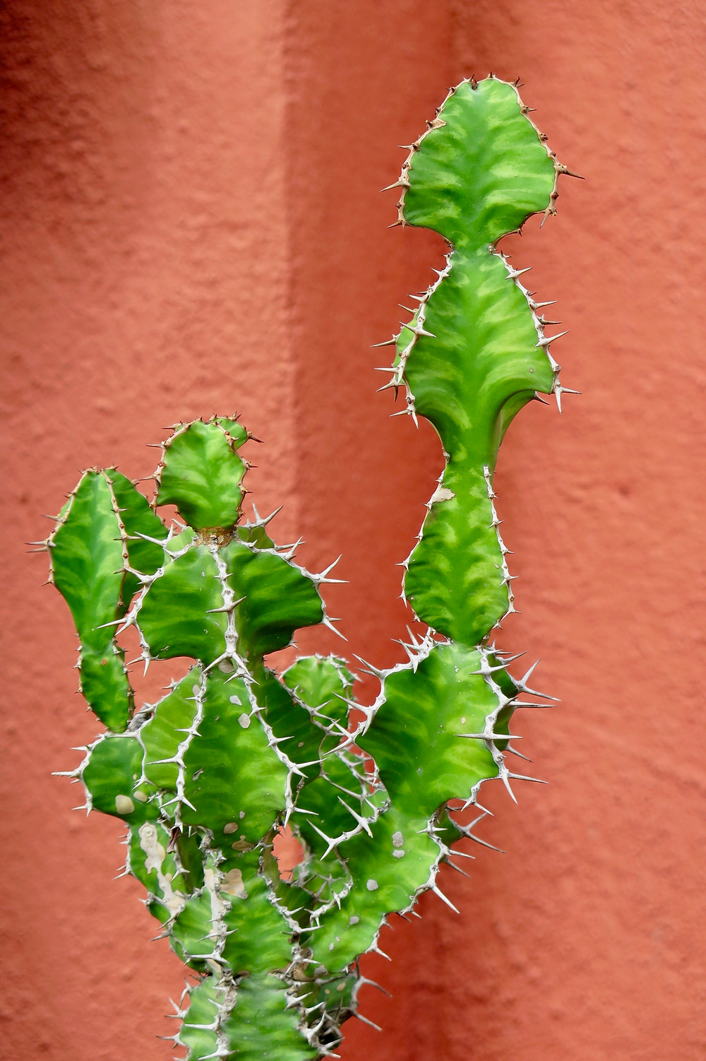 Photo credit: Jeff Moore, Spiny Succulents.