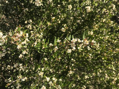 GOING WILD WITH NATIVES: Bush Rue