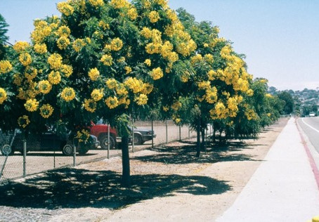 (NOT) FROM THE ARCHIVES: Gold Medallion Tree