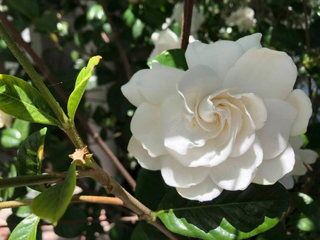 "GARDEN SURROUNDINGS: Gardenias; My ""First Love"""
