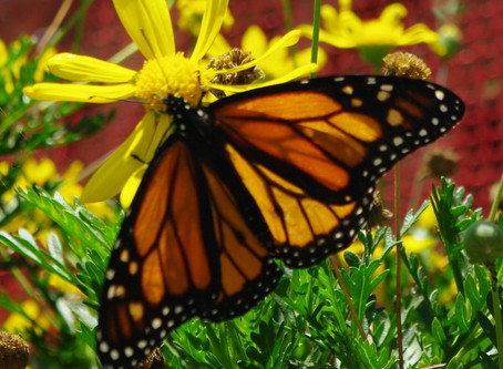 MORE GOING WILD WITH NATIVES: How to Support Biodiversity? Plant More Natives & Fewer Exotics!