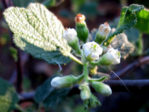 GOING WILD WITH NATIVES: Elderberries And Currants, Ribes Species, Plants With Benefits!