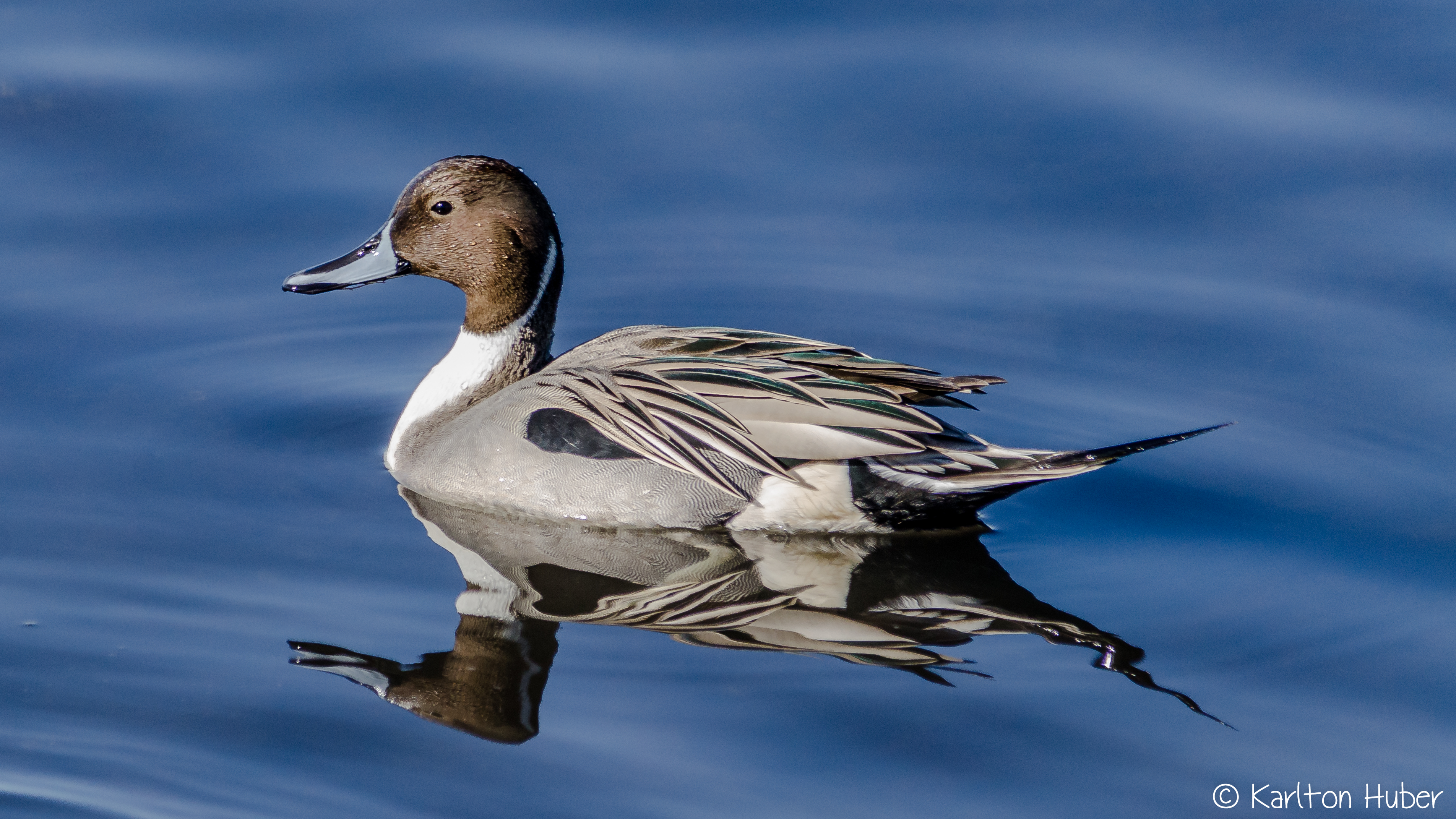 Pintail Duck - 9482