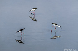 SJWR - Black Necked Stilts