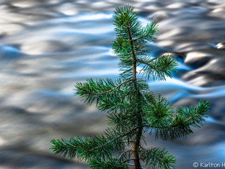 Sapling, Waters Edge