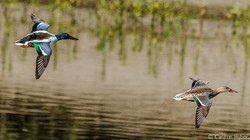 SJWR - Northern Shoveler Pair Flying - 2