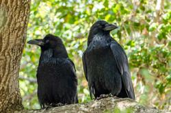 Raven Pair_9804