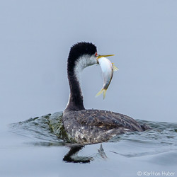 SJWR - Successful Grebe - 8928