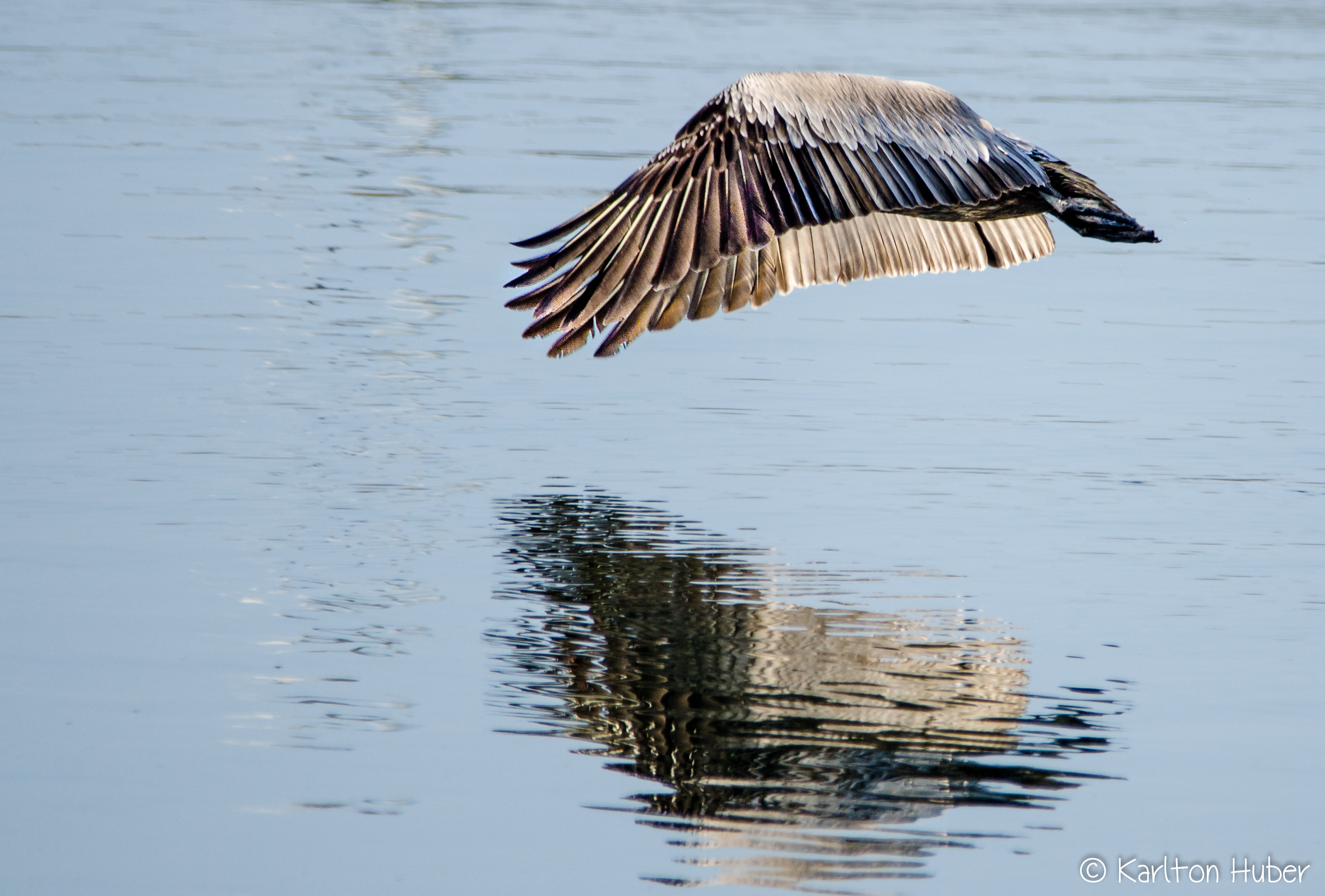Brown Pelican Abstract
