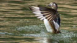 Wood Duck Hen - 7333
