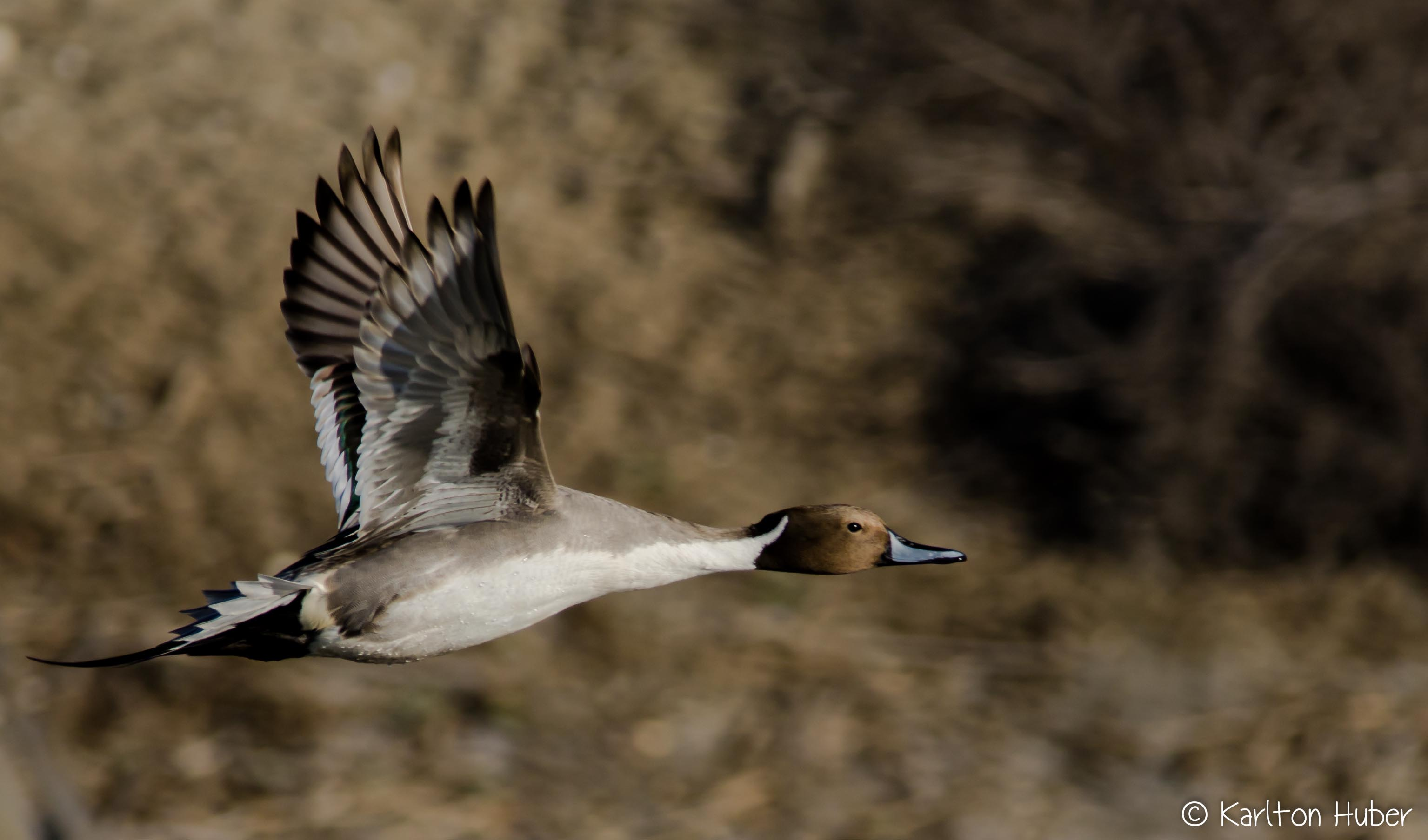 Northern Pintail (m)