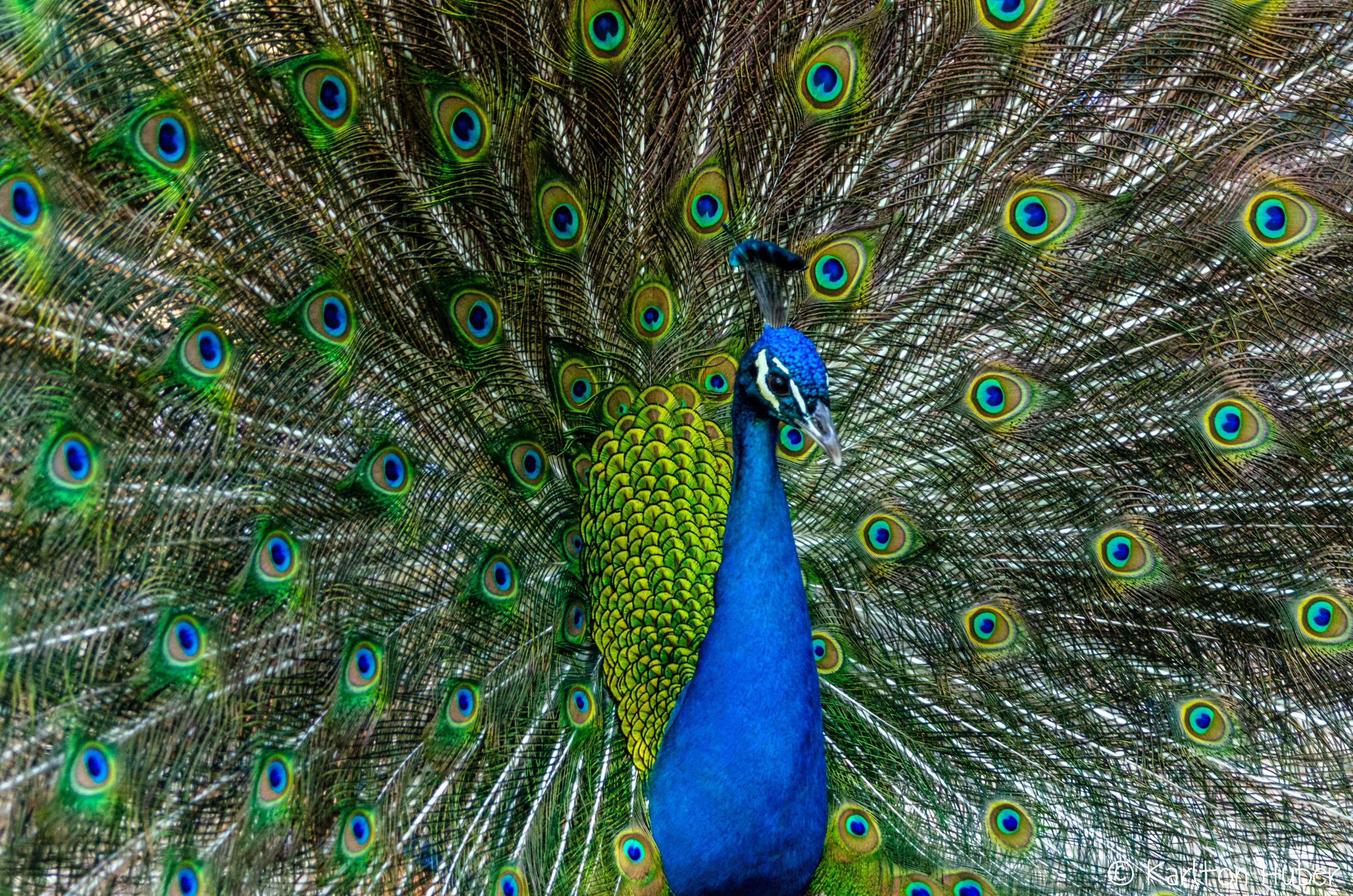 Peacock Courtship Display