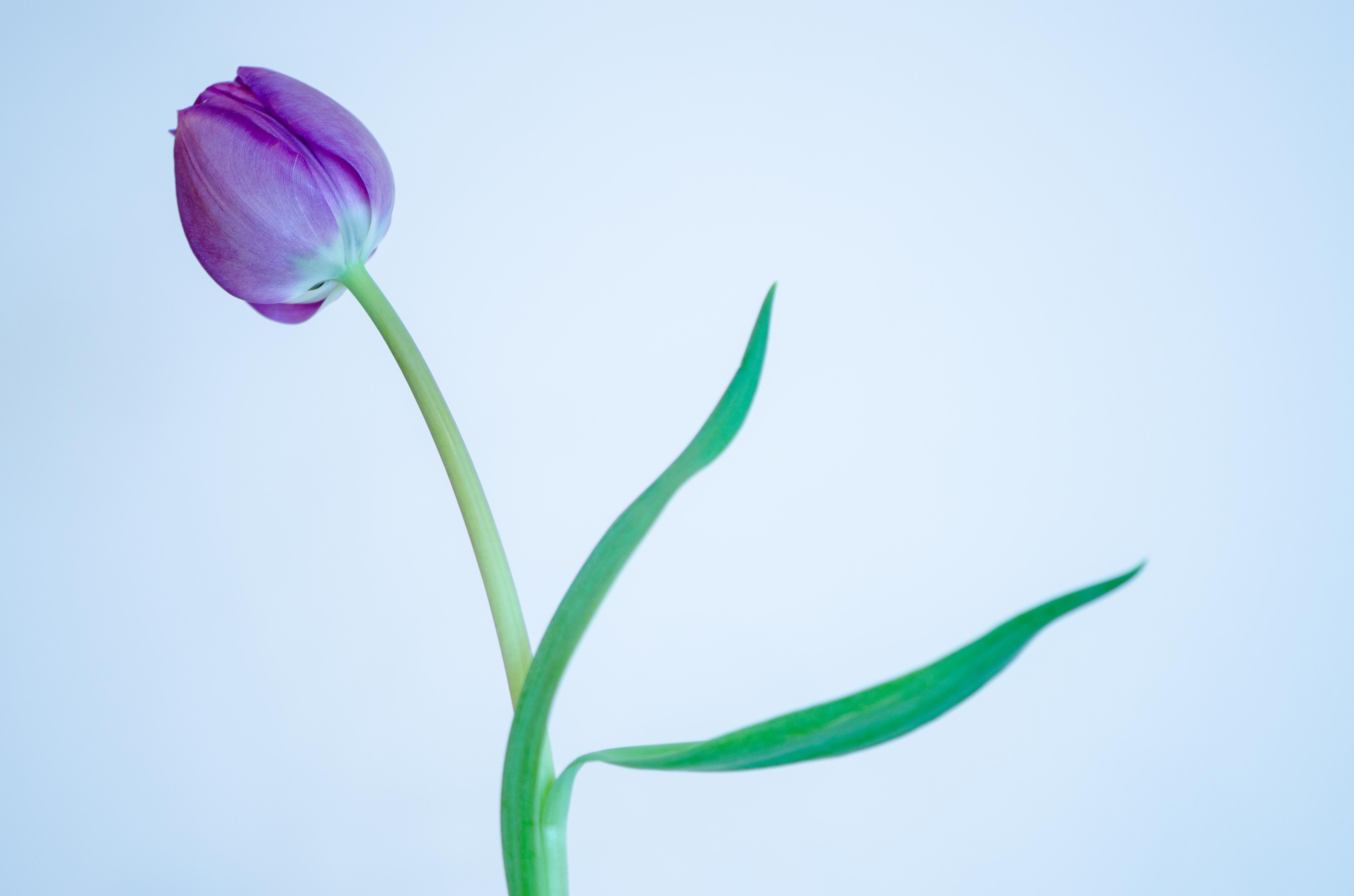 Purple Tulip - 1635