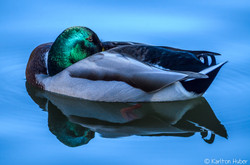 IRP - Mallard - Sunday Morning - 7653