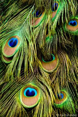 Peacock Tail.jpg