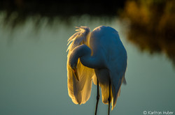 Egret - Morning Light - 2019