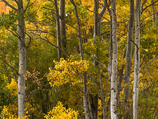 Fall Colors - Aspen Grove - (The Easy Way)