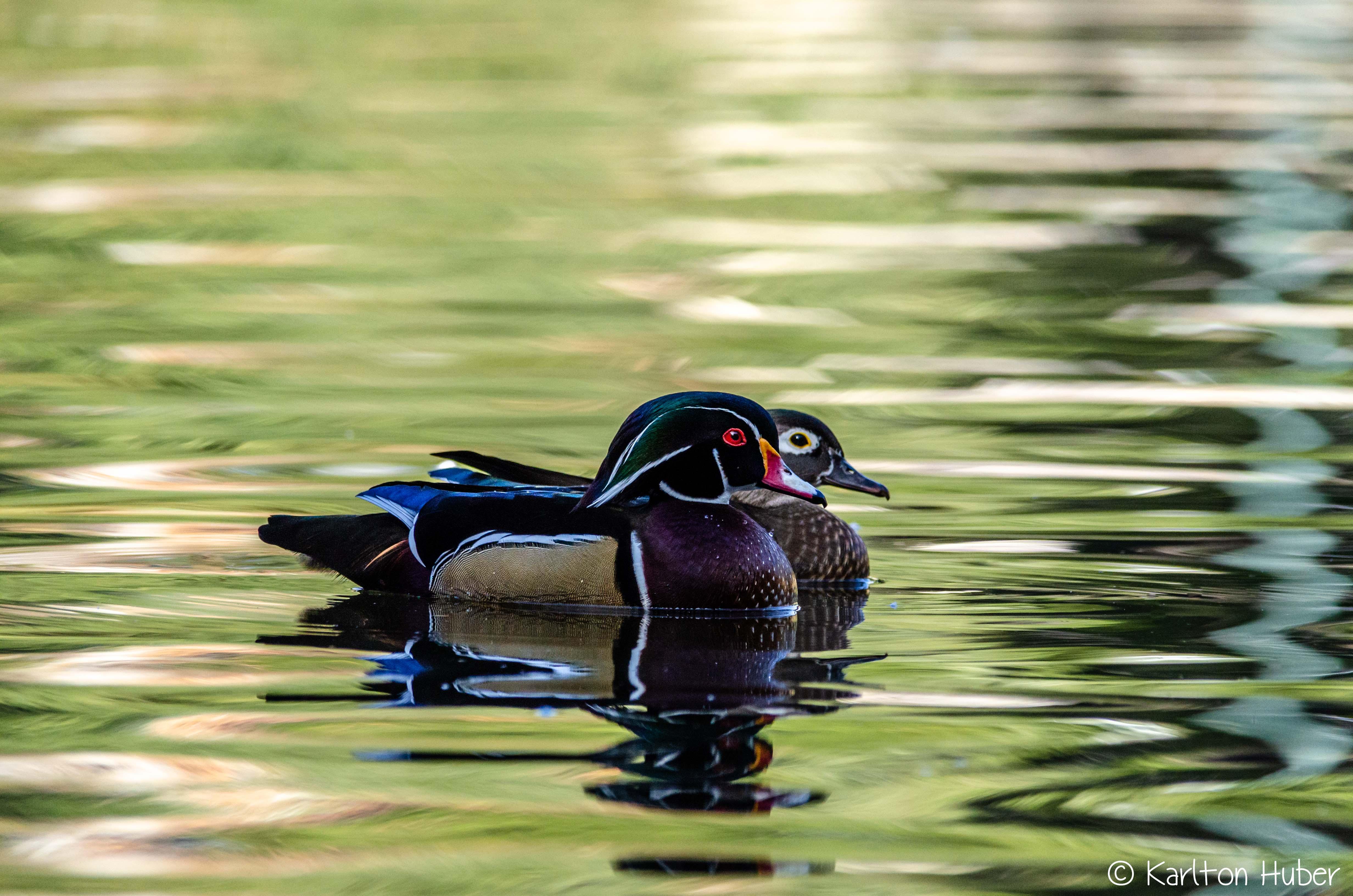 Wood Duck Pair_8425