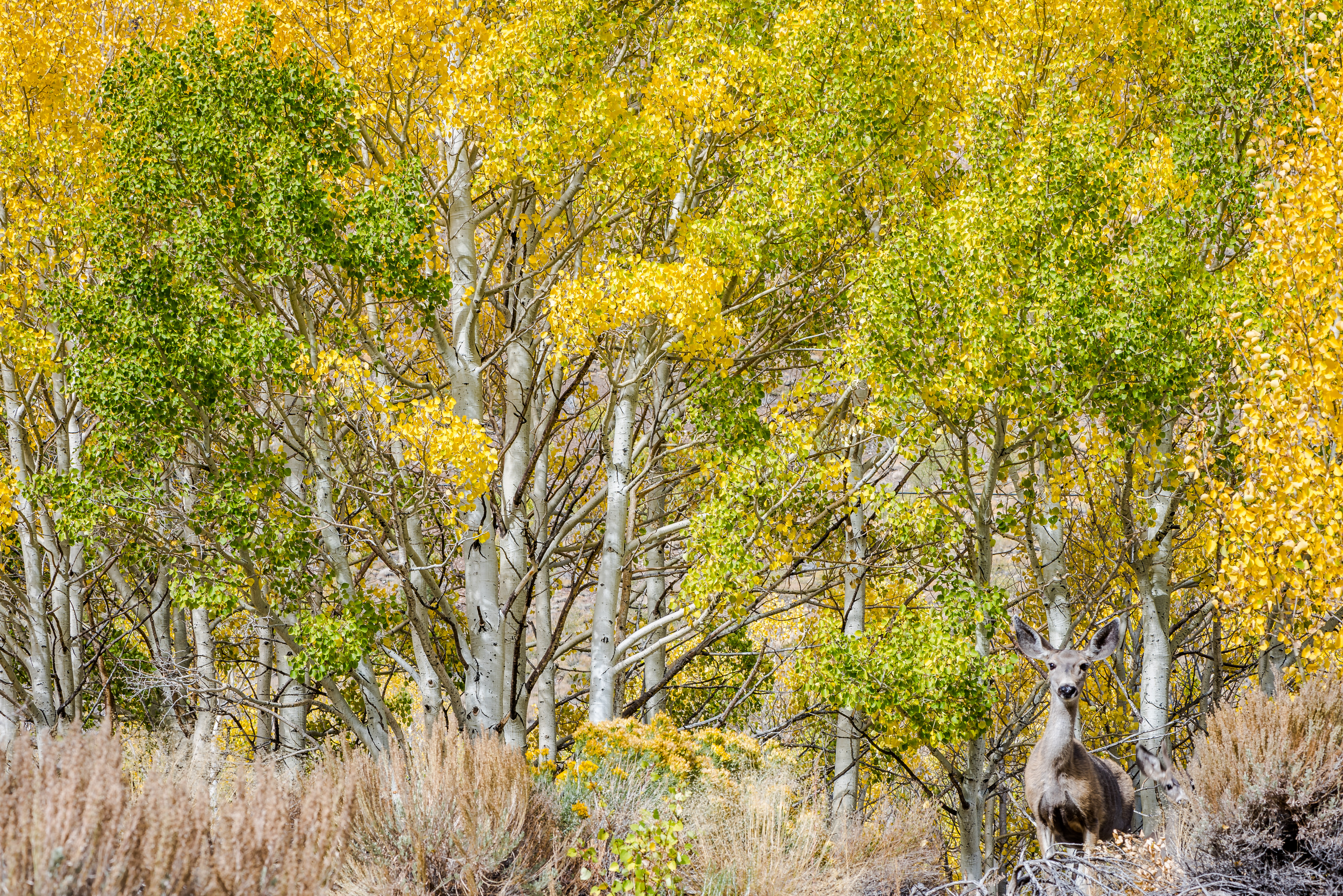 Aspens and Deer