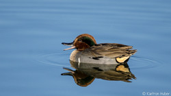 Green-winged Teal - Enjoying Life - 3487