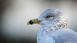 Sea Gull - 2923