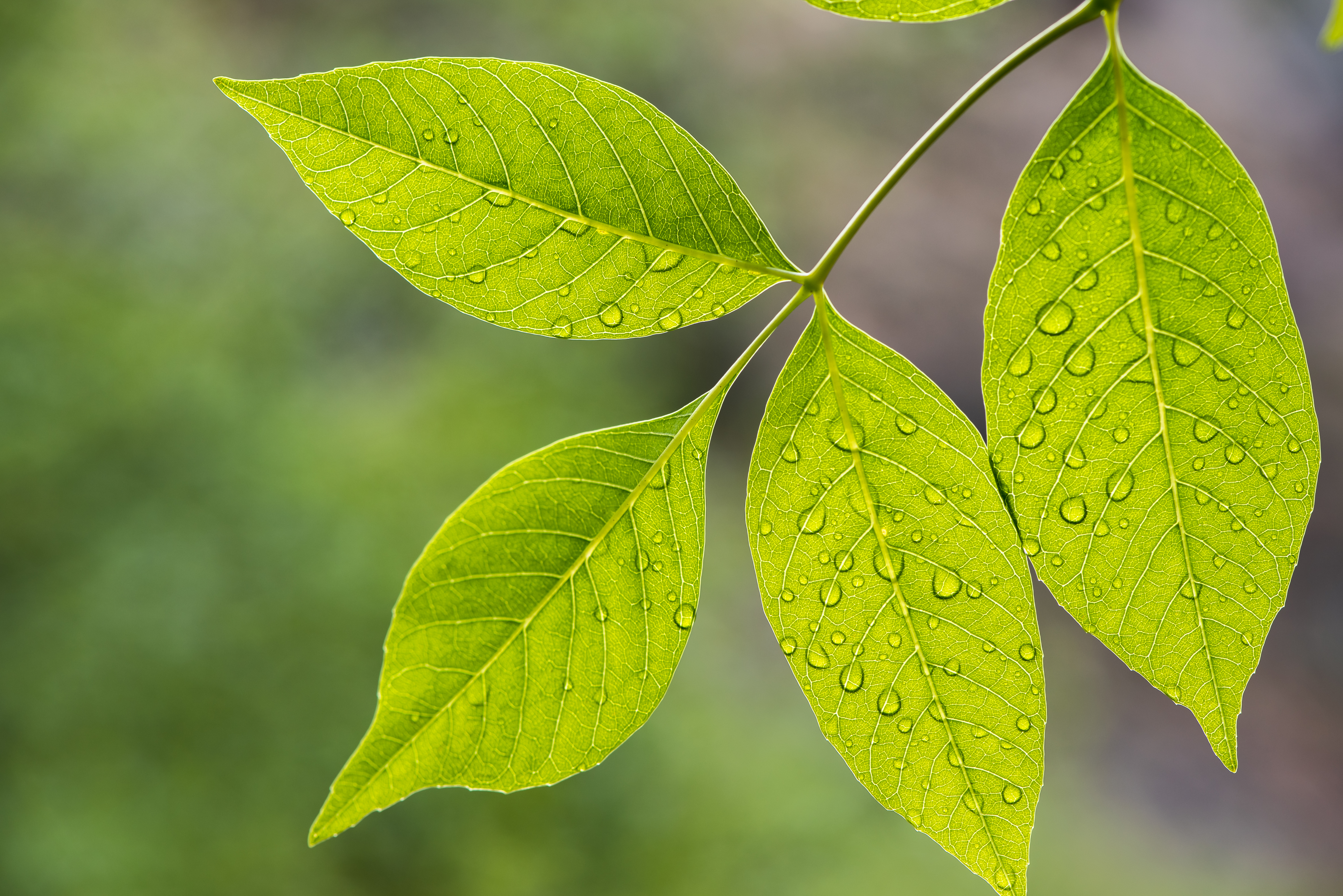 Rain Drops On Leaves - 0365