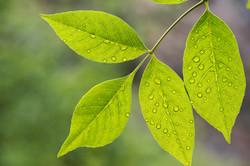 Rain Drops On Leaves - 0365