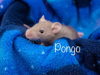(M) Pongo - Reserved Georgia