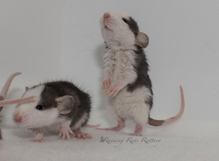 Carrier Package Rat Pick Up