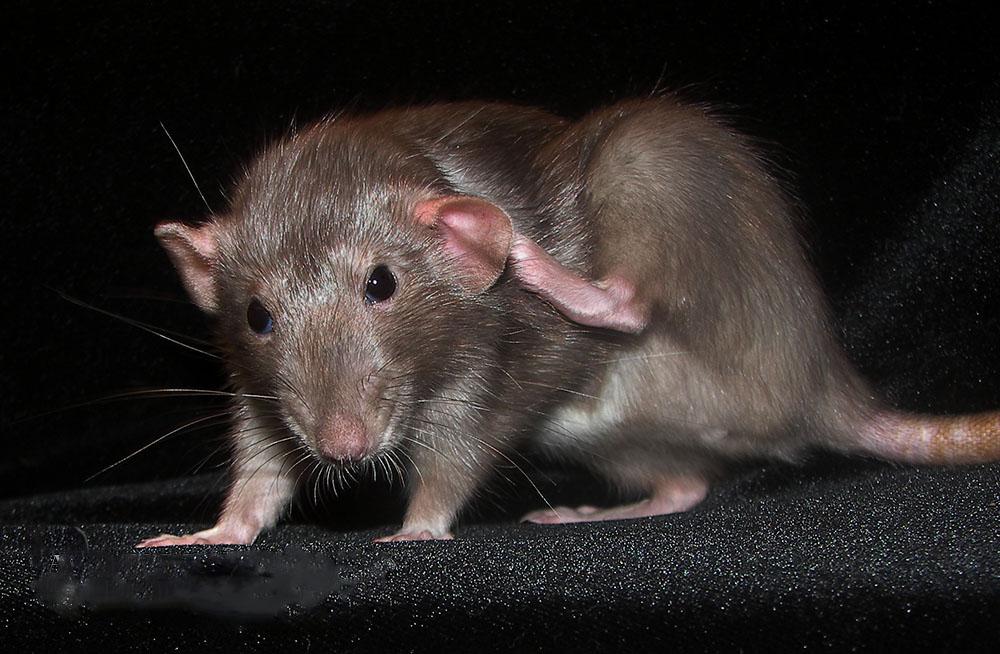 Daphne itch
