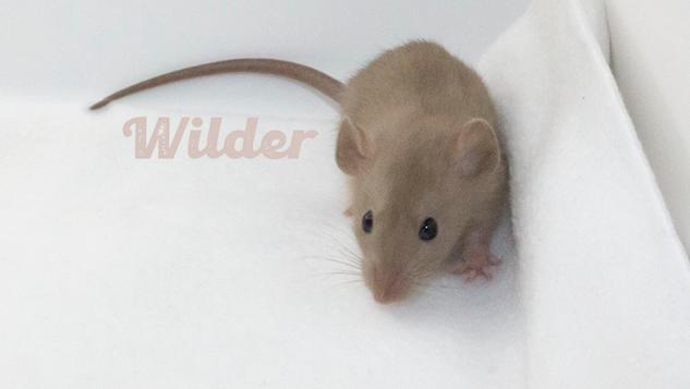(M) Wilder - Hold dwarf watch