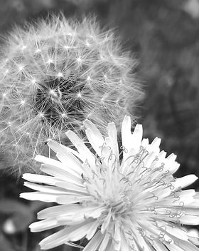dandelion%20yellow%20and%20fluffy_edited
