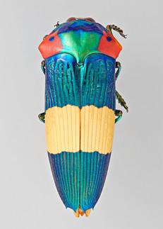 Buprestidae: Calodema ribbei