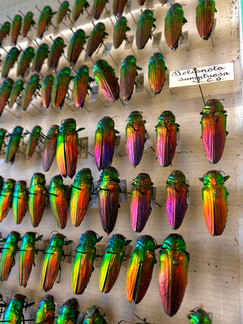 Buprestidae: Belionota sumptuosa