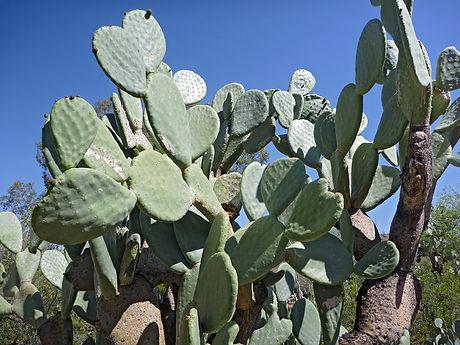 opuntia-ficus-indica1.jpg