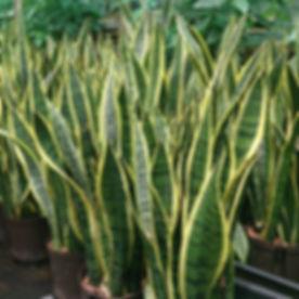 snake-plant-2.jpg
