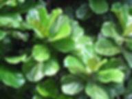 Ficus-lyrata.jpg