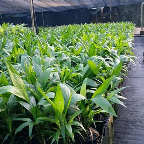 Chamaedorea-seifrizii.jpg