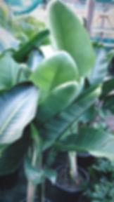 strelitzia nicholai.JPG