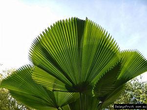 Palm-Ruffled-Fan-3473.jpg