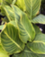 variegated ginger.JPG