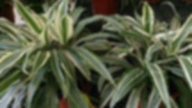 Striped-dracaena-Warneckei.jpg.1000x0_q80_crop-smart.jpg
