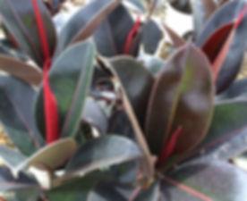 Ficus-Burgundy.jpg