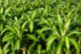 dracaena-massangeana-800x535.jpg