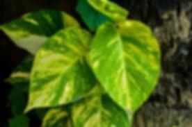 devils ivy.jpg
