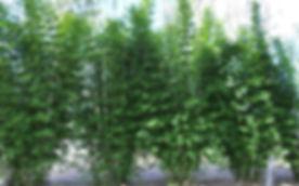 slender weaver_edited.jpg