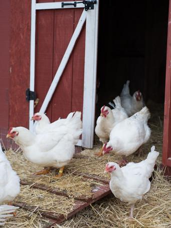 chickens3-2jpg