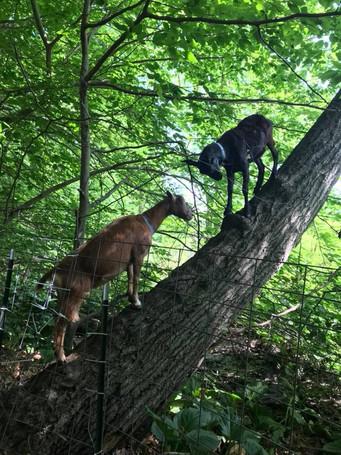 Green Goats