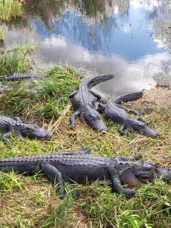 alligators-in-everglades-national-park-f